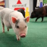 Pigs are on the scene of this year's Puppy Bowl!