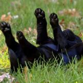 One of the Labrador Retriever puppies rolls around in the grass.