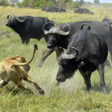 Although they do not have many natural enemies, Cape buffalo are capab