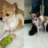 Sparkles Sparkles, a one-year-old female Chihuahua mix, was rescued af