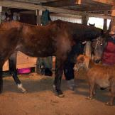 Goliath and Sassy  Goliath and Sassy are two of 31 neglected horses re