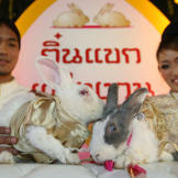 A pair of rabbits wed in a traditional Thai ceremony at an animal park