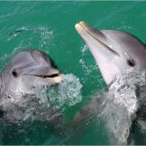 Bottlenose Dolphins  (Tursiops truncates) Bottlenose dolphins are by f
