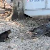 This cat stands his ground with an interloping alligator.