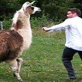 Don't mess with this llama.