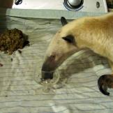 Only the finest will do for this anteater.