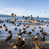 Bald eagles on beach in Homer, Alaska