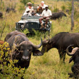 Humans are the Cape buffalo's biggest threat. A herd of Cape buffalo c