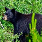 8:  The American Black Bear Many of us were taught in school that bear