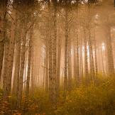 Mystical Forest. Photo taken on a foggy day at sunrise in a pine fores