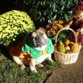 Abby is an English Bulldog who loves to play dress-up. (From Allison H