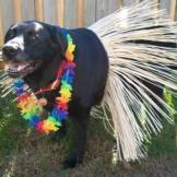 This lab is ready to hula.