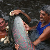 Although protected, the arapaima continues to be heavily overfished in