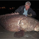 Also known as the giant grouper, the Queensland grouper is the largest bony fish found in coral reefs, and the aquatic emblem of Queensland, Australia.  More Killer Fish Photos | About the Bull Shark | Sharks Thriving in Freshwater (video) | Catching a Bull Shark (video) | Gigantic Queensland Grouper (video)