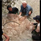 The stress of the capture caused this giant freshwater stingray to giv
