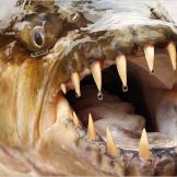 The goliath tigerfish is extremely difficult to find and even harder t