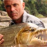 The goliath tigerfish is considered the African equivalent of the South American piranha. There are two big differences between these fish though: piranhas hunt in packs while the goliath tigerfish is a solitary hunter, and the goliath tigerfish is absolutely enormous compared to the piranha.