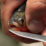 Jeremy Wade reveals the red-bellied piranha's legendary, razor-sharp t