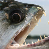 """A close relative of the piranha, the payara is often called the """""""