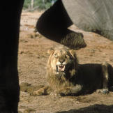 A male African lion (Panthera leo) growls at African elephants (Loxodo