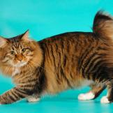 American Bobtail While the breed is still developing, breeders say tha