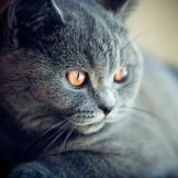 British Shorthair If you're looking for a cat that will loot your refr