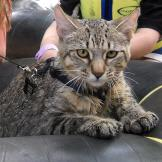 Learn more about the felines featured in Cats 101.   Pixie-Bob Learn m
