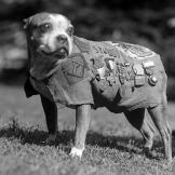 Stubby the Dog Sgt. Stubby, who served with the 102nd Infantry Divisio