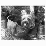 Smoky Smoky, a 4-pound Yorkshire terrier, joined America's finest duri