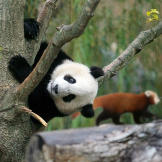 Giant Pandas this. Giant Pandas that... All you ever hear about are th