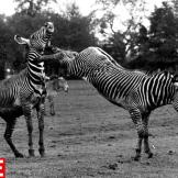 Zebra Becomes a Pain in the Neck, 1961William Vanderson/Getty ImagesSe