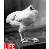 Mike the Headless Chicken. This is not a hoax: Following a non-lethal