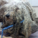 Shrek was found completely matted in fur, in Ontario, Canada.
