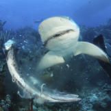 Caribbean reef shark attacking barracuda in the Bahamas with a diver n