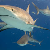 Caribbean reef sharks in waters off the Bahamas.