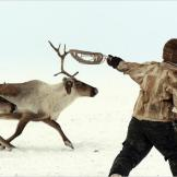 A member of the Dolgan tribe rounds up his reindeer.