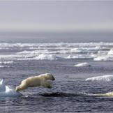 A pair of polar bear cubs swim for the first time.