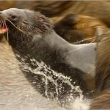 Antarctic fur seals clash on Bird Island, South Georgia.