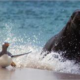 A southern sea lion chases a gentoo penguin onto land