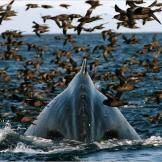 Humpback whale dives for krill amidst thousands of shearwaters.