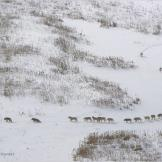 A massive pack of gray wolves hunts bison in the Arctic Circle.