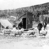 Gold prospectors use a team of goats to haul supplies to the gold fields. Once the animals had delivered their loads, they were fattened, slaughtered and eaten. Pack animals were sometimes chosen as much for their meat quality as for their hauling capacity.