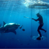 From within the shark tube, Chris Fallows feeds a great white shark a hunk of tuna from a metal pole.