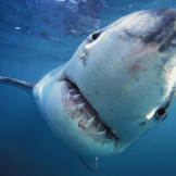 Great White Shark (Carcharodon carcharias) photographed off South Africa.