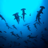 Some hammerhead species travel in large schools of up to 500 sharks or