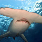 Hammerhead sharks have disproportionately small mouths. They do most of their feeding along the bottom of the ocean. Their diet includes fish, squid, octopus, crustaceans, stingrays and even other sharks, including young hammerheads.