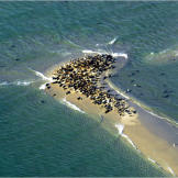 Gray seals crowd a sandbar off Chatham, Massachussetts. Greg Skomal, a