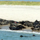 A startled herd of gray seals on South Beach in Chatham, Massachusetts