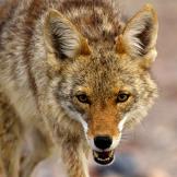 north-america-coyote-625x450
