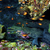 Moray Eels and Leather Bass Filmed Cooperating